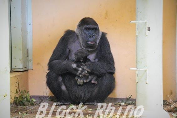 ニシローランドゴリラ ゲンキ06 京都市動物園