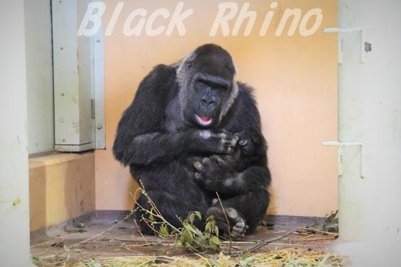 ニシローランドゴリラ ゲンキ07 京都市動物園