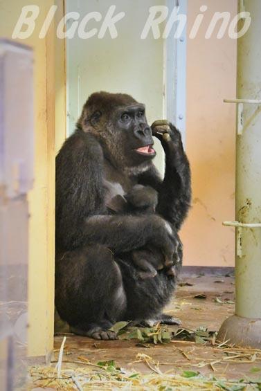 ニシローランドゴリラ ゲンキ08 京都市動物園
