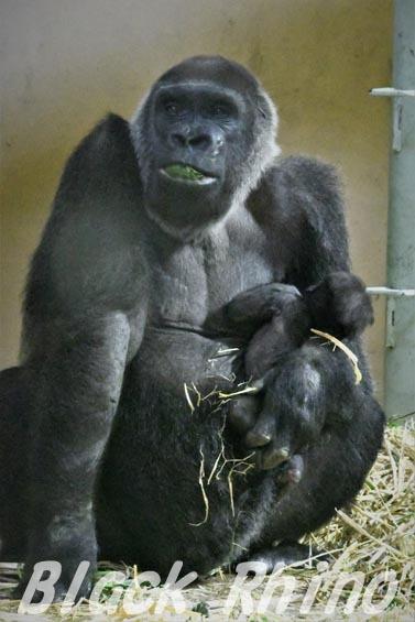 ニシローランドゴリラ ゲンキ09 京都市動物園