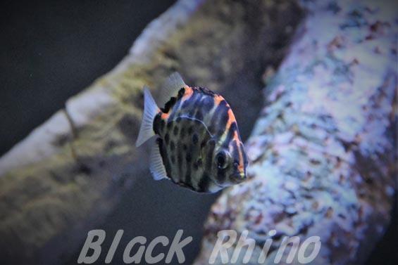 クロホシマンジュウダイ02 竹島水族館