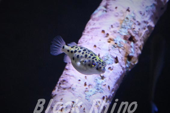 ミドリフグ01 竹島水族館