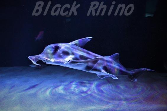 ゾウギンザメ01 サンシャイン水族館
