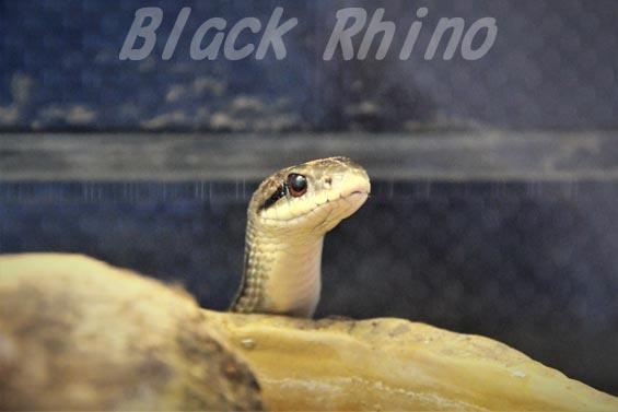 シマヘビ01 日本平動物園
