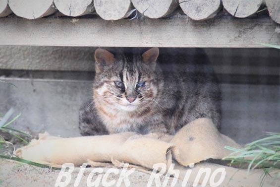 ツシマヤマネコ01 京都市動物園