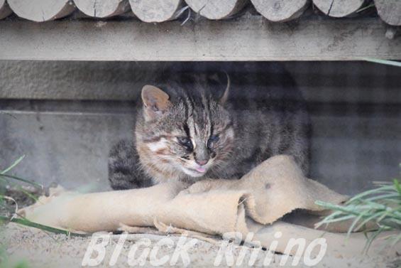 ツシマヤマネコ02 京都市動物園
