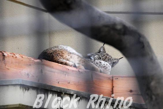 ヨーロッパオオヤマネコ01 京都市動物園