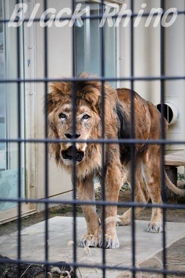 ライオン ナイル05 京都市動物園