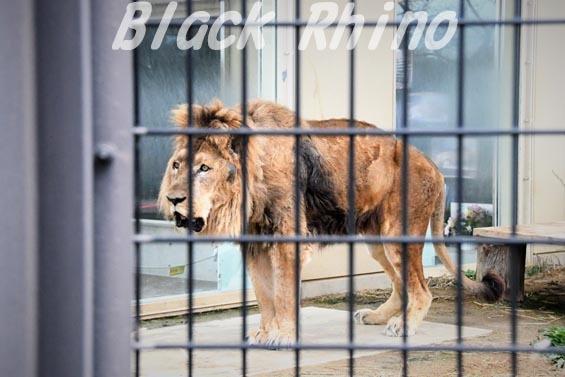 ライオン ナイル06 京都市動物園