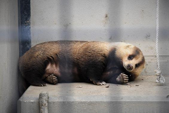 ニホンアナグマ02 京都市動物園
