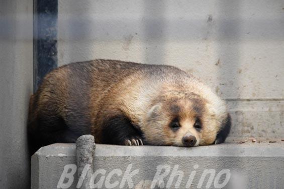 ニホンアナグマ03 京都市動物園