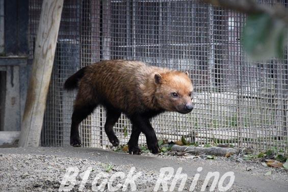 ヤブイヌ10 京都市動物園