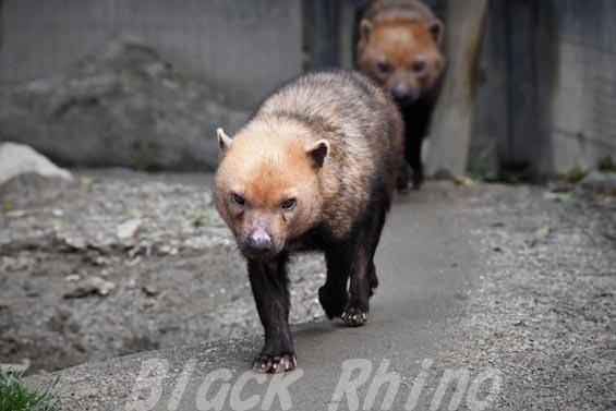 ヤブイヌ11 京都市動物園