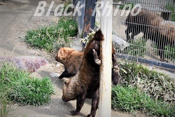 ヤブイヌ12 京都市動物園