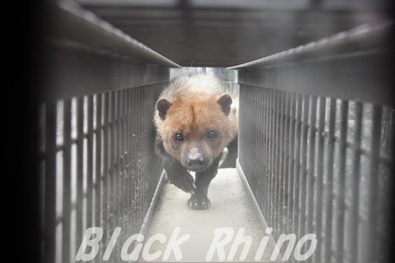 ヤブイヌ13 京都市動物園