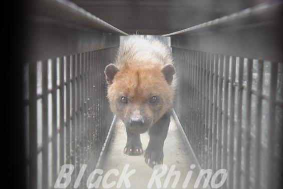 ヤブイヌ14 京都市動物園