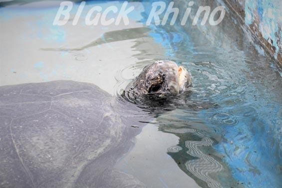 クロウミガメ02 南知多ビーチランド