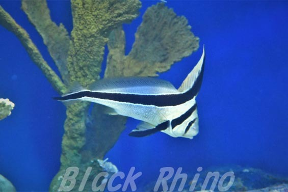 ジャックナイフフィッシュ01 サンシャイン水族館