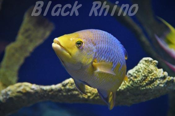 スパニッシュホグフィッシュ01 サンシャイン水族館