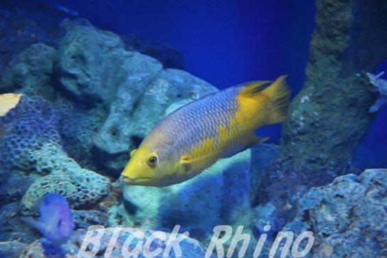 スパニッシュホグフィッシュ02 サンシャイン水族館