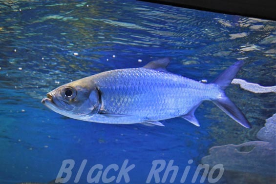 ターポン01 サンシャイン水族館