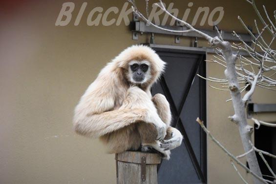 シロテテナガザル01 京都市動物園