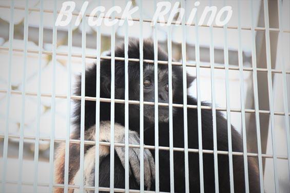 シロテテナガザル02 京都市動物園