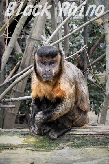 フサオマキザル01 京都市動物園