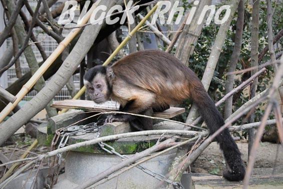 フサオマキザル03 京都市動物園