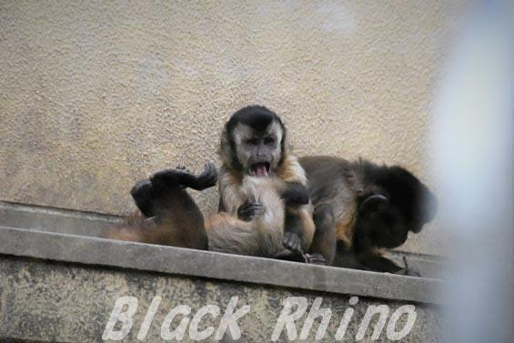 フサオマキザル04 京都市動物園