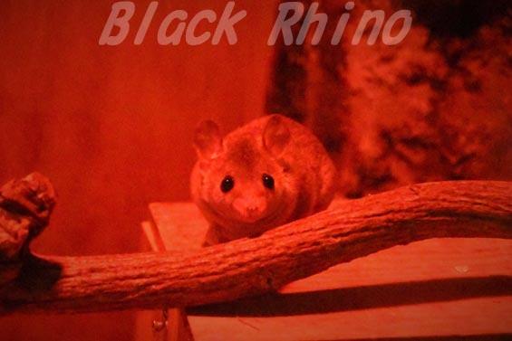 ハイイロジネズミオポッサム01 上野動物園