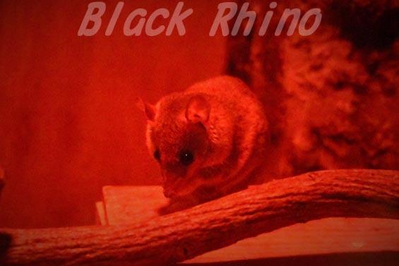 ハイイロジネズミオポッサム02 上野動物園