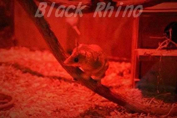 ハイイロジネズミオポッサム03 上野動物園