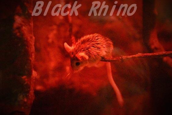 ヒゲカンガルーハムスター02 上野動物園