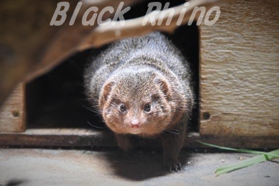 コビトマングース01 上野動物園