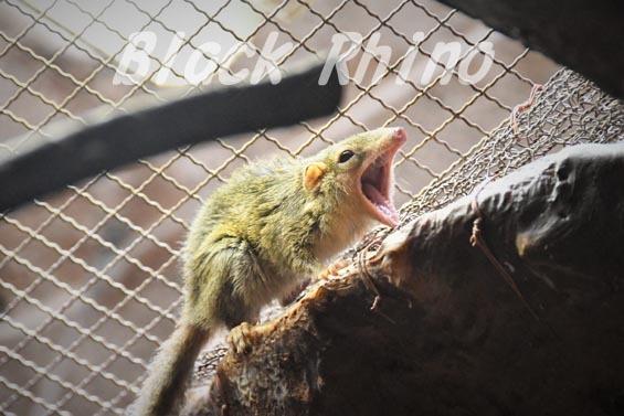 コモンツパイ01 上野動物園