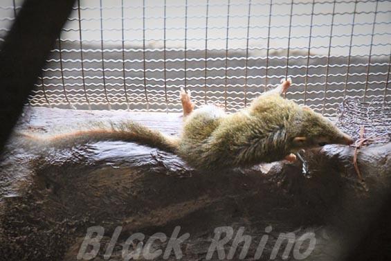 コモンツパイ02 上野動物園