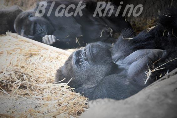 ニシローランドゴリラ ハオコ01 上野動物園