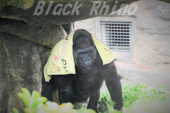 ニシローランドゴリラ ピーコ02 上野動物園