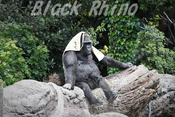 ニシローランドゴリラ ピーコ03 上野動物園