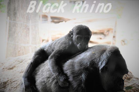 ニシローランドゴリラ リキ01 上野動物園