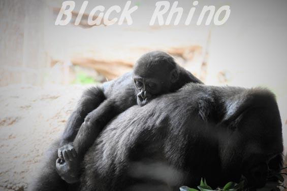 ニシローランドゴリラ リキ02 上野動物園