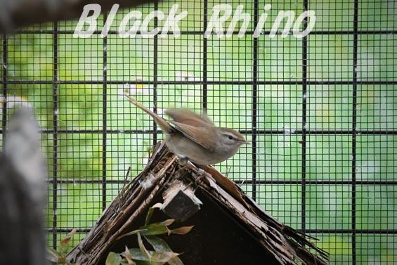ウグイス01 上野動物園