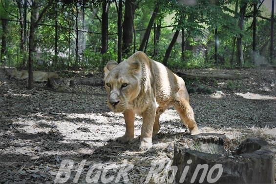 インドライオン01 ズーラシア