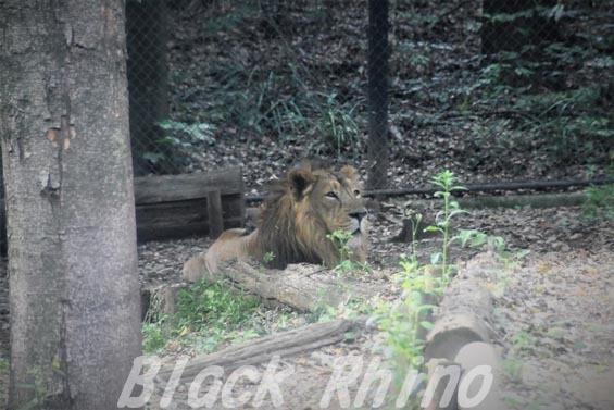 インドライオン02 ズーラシア
