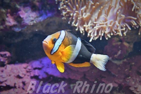 クマノミ01 サンシャイン水族館