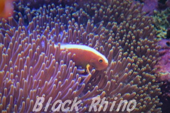 セジロクマノミ01 サンシャイン水族館