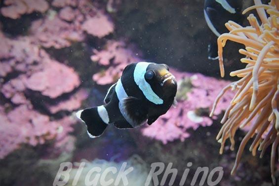 セバエアネモネフィッシュ01 サンシャイン水族館