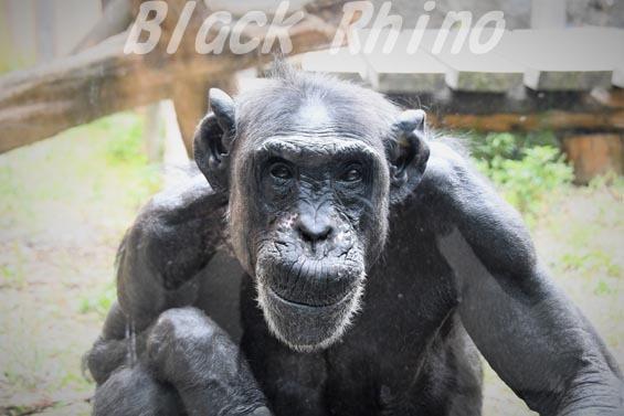 チュウオウチンパンジー サンドラ01 いしかわ動物園