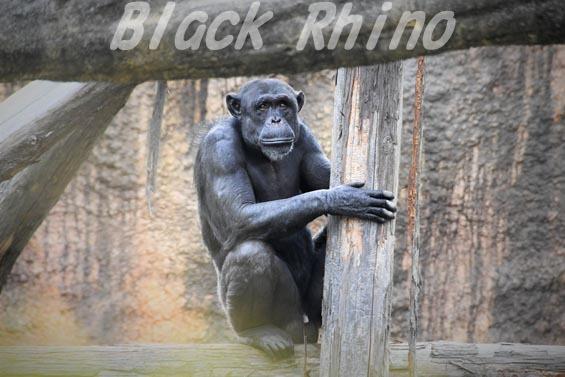 チュウオウチンパンジー モンテ01 いしかわ動物園